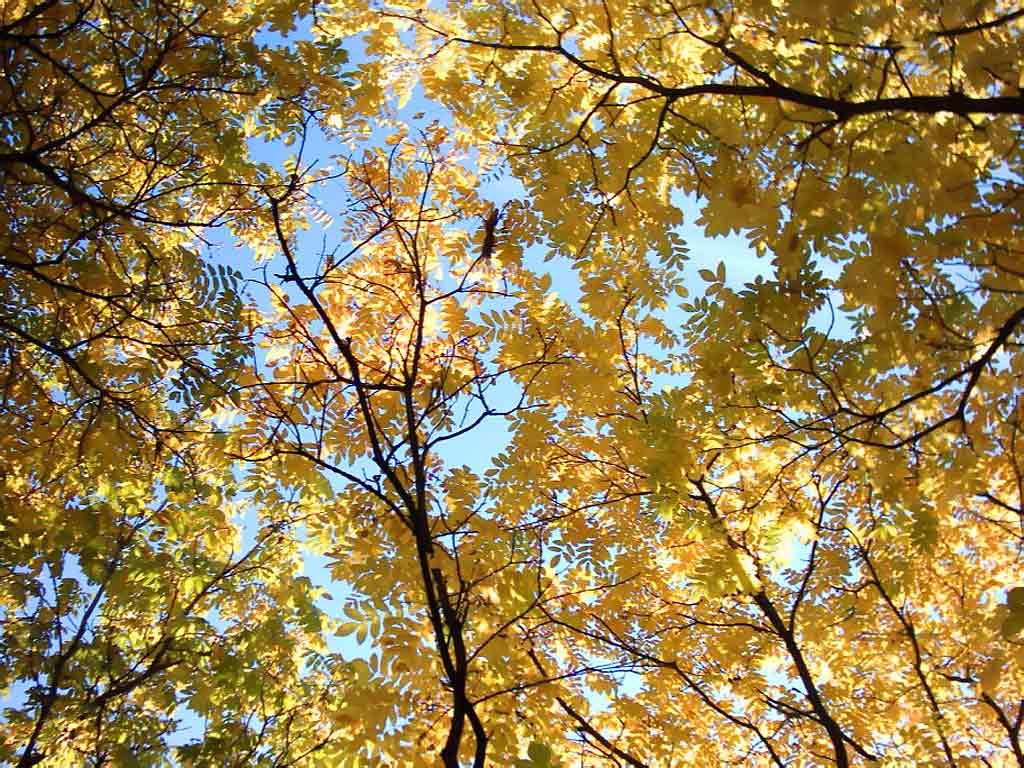 Маньчжурский орех Ботанический сад Фото Осень в Минске Скачать  Маньчжурский орех Ботанический сад
